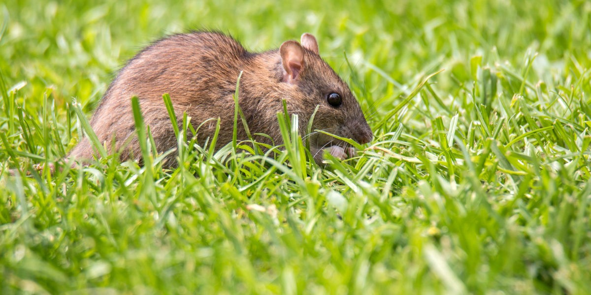 Rodent Exclusion Specialists Urge San Jose Residents to Rodent-Proof Their Homes