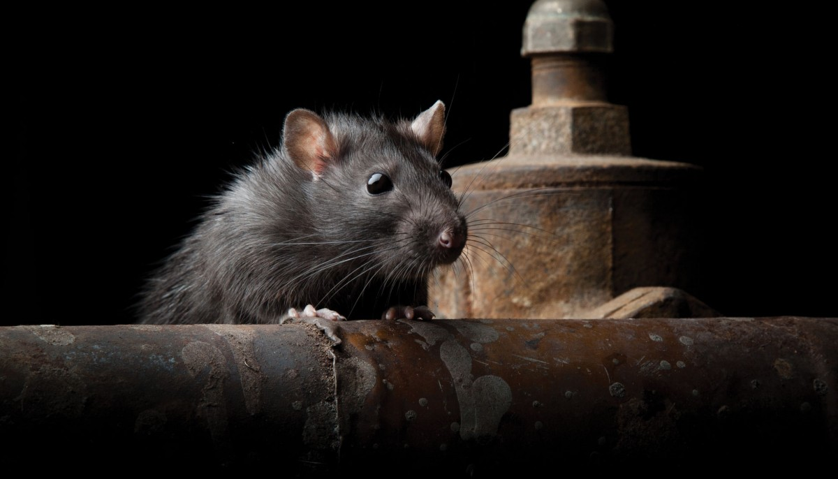 As Winter Approaches, Local Business Warns Homeowners About Rodent Season